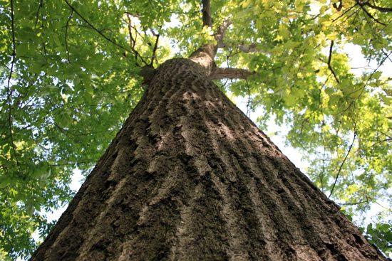 albero-quercia-550