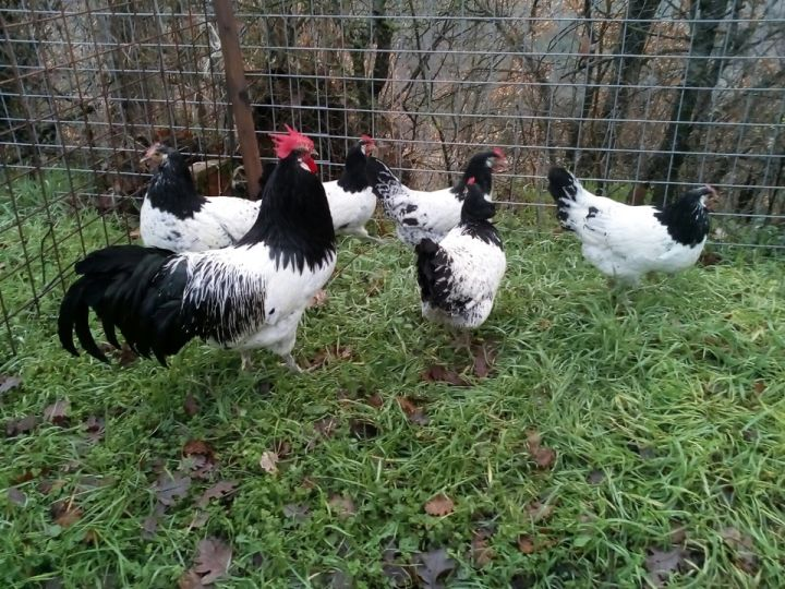 Esempio di avicoli ornamentali 2